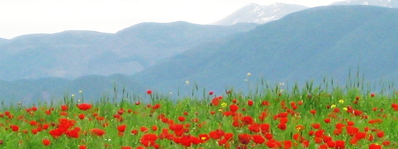 Altai mountains and poppy field W1340